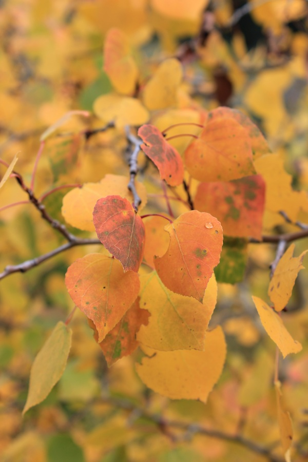 Aspen turning orange